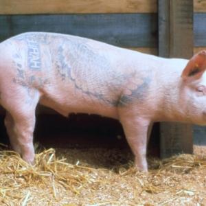 1-51-wim-delvoye-marcel-het-tattoozwijn